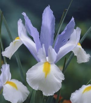 Dutch Iris Silvery Beauty
