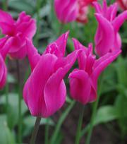 Tulip Jazz
