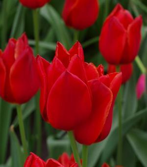 Tulip Kingsblood