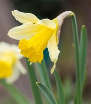 Narcissus Lobularis (Lent Lily)