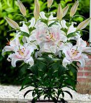 Lilium Muscadet