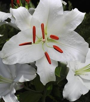Lilium Casa Blanca
