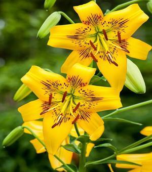 Lilium Yellow Bruse