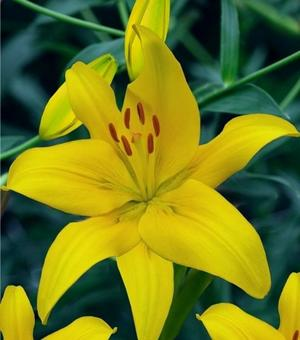 Lilium Yellow County