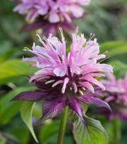 Monarda Croftway Pink