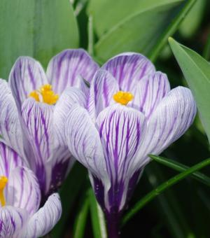 Pictured Crocus Pickwick