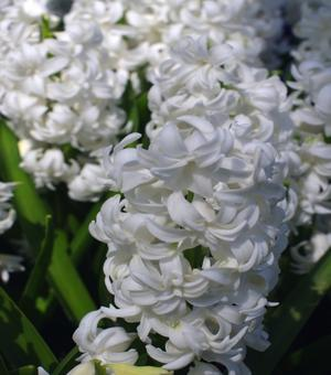 Double Hyacinth Madame Sophie