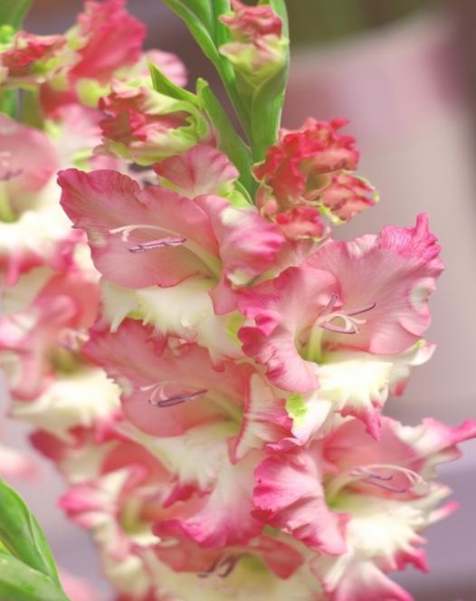 Large flowering gladioli gladioli spring planting bulbs gladiolus pink lady mightylinksfo