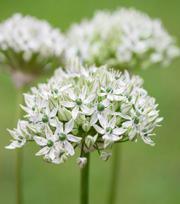 Allium Nigrum (Multibulbosum) 12/ up