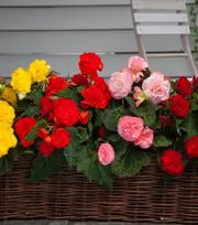 Begonia Non Stop Mixture