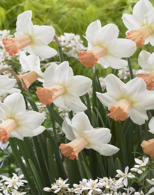 Narcissus Skype
