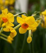Narcissus Martinette