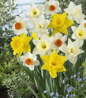 Narcissus Mixture