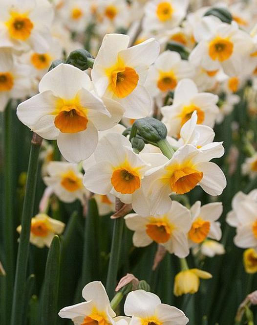 Narcissus Beautiful Eyes