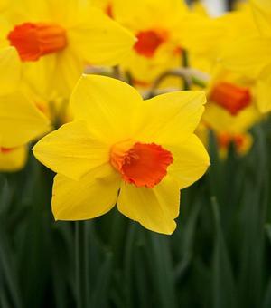 Narcissus Brackenhurst