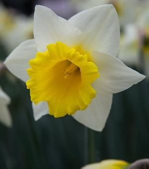 Narcissus Cornish King