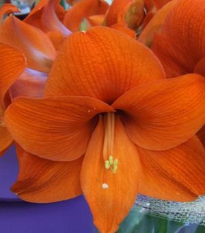 Amaryllis Naranja ®
