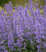 Nepeta Summer Magic
