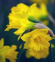 Narcissus Obvallaris (Tenby Daffodil) 10/12