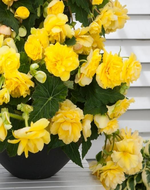 Begonia Odorosa Yellow Flame