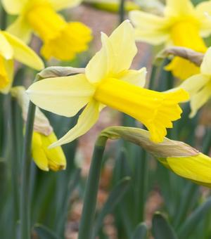 Narcissus Peeping Jenny