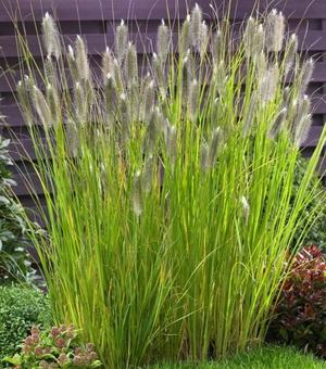 Pennisetum Magic