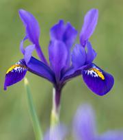 Iris Reticulata Pixie ®