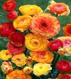 Ranunculus Picotee Orange