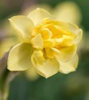 Narcissus Primrose Beauty