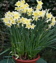 Narcissus Prom Dance