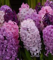 Hyacinth Crushed Berries Mixture