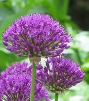 Allium Purple Sensation (Hollandicum)
