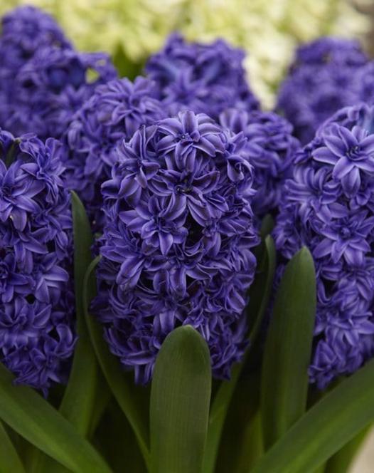 Hyacinth Double Royal Navy