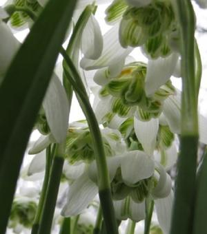 Snowdrop Double (Flore Pleno) In The Green