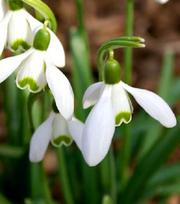 Snowdrop Single (Nivalis Simplex) In The Green