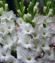 Gladiolus White Star