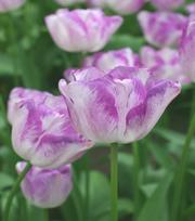 Tulip Shirley 11-12 cm
