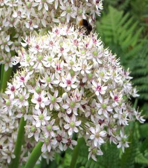 Allium Silver Springs
