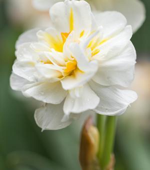 Narcissus Sir Winston Churchill 25KG