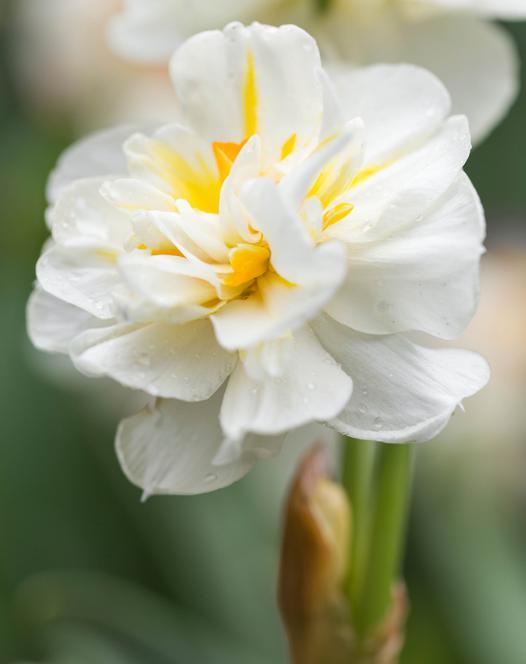 Narcissus Sir Winston Churchill