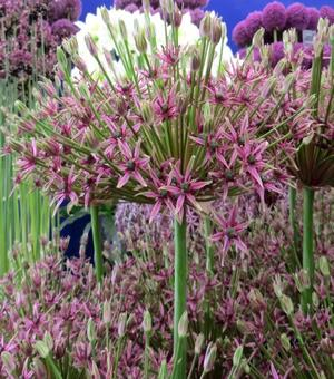 Allium Spider