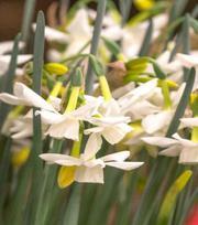 Narcissus Starlight Sensation