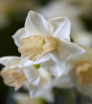Narcissus Sweet Smiles