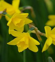 Narcissus Sweetness