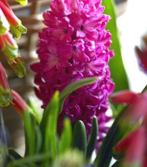 Geprepareerde Hyacint Jan Bos