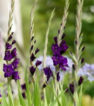 Gladiolus Purple Flora
