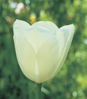 Tulp Maureen
