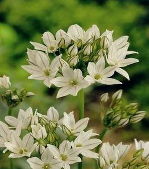 Triteleia Hyacinthina (Brodiaea)