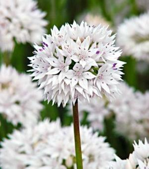 Allium Amplectens Graceful Beauty