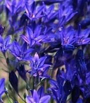 Brodiaea Corrina (Triteleia)